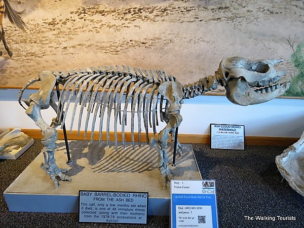 Skeleton of a baby rhino found at the site.