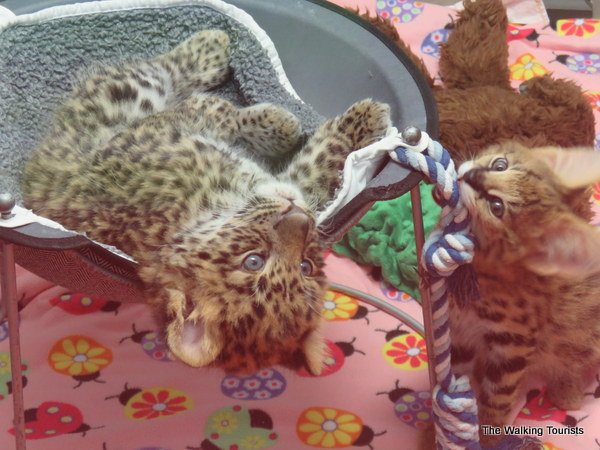 A leopard cub and serval kitten play together at Tanganyika Wildlife Park.