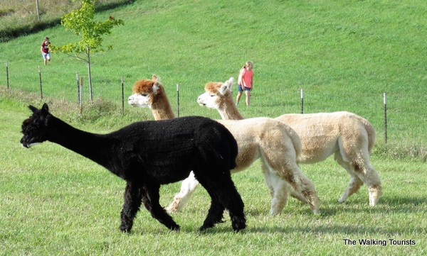Alpacas roam the pasture, and may approach humans. They can be friendly.