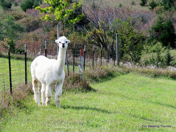 A white adult alpaca stands watching people from a distance. He is not a fan of people.