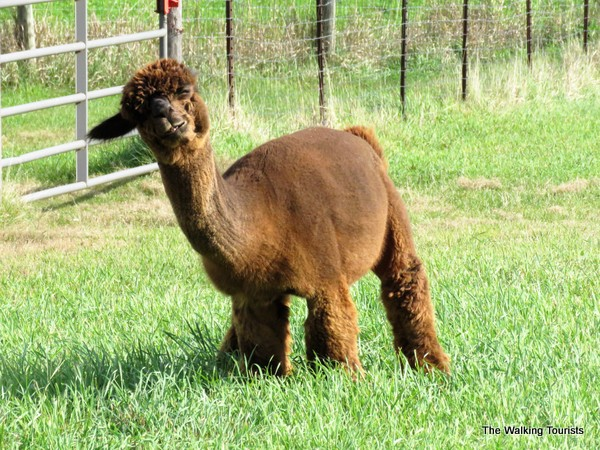 A cria - juvenile alpaca - is one of several alpacas raised at the Alpacas of the Heartland farm near Fort Calhoun, Nebraska