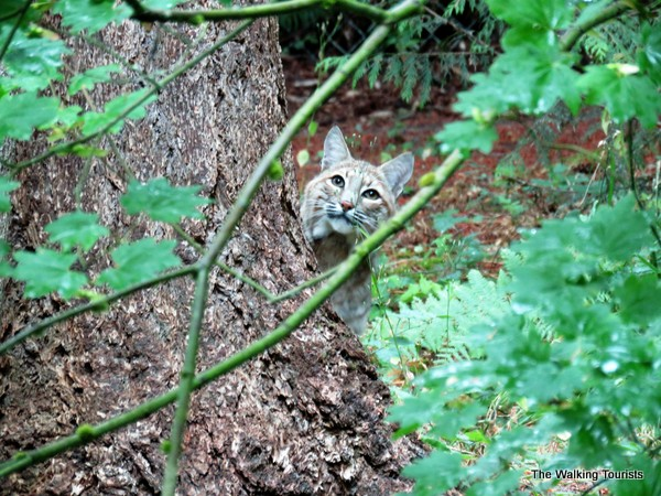 A bobcat was engrossed by a bird flying nearby.