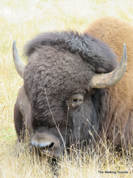 A bison laying in the tall grass.
