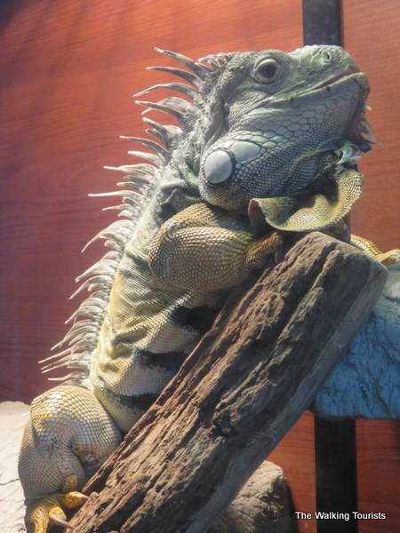 This iguana calls the Phillips Park zoo home.