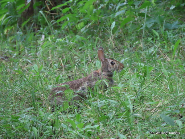 A rabbit hiding in the grass