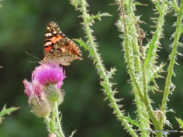 Butterfly landing on a wild flower.